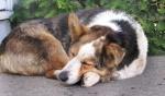 The Dingo Sleeps